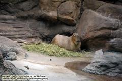 110416-022 (leafworks) Tags: chroniclesofsirthomasleaf colorado milehigh princecian denver zoo denverzoo animals capybara co usa 01