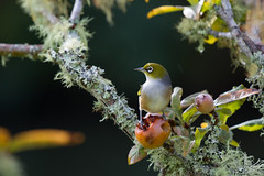 Silvereye (N.Mancosu) Tags: newzealand nature bird water exploring exposure exploration eos7d eos explore excursion river roadtrip travel travelling tradition tele zealand island ocean downunder awesome atmosphere animal scene summer day fall hiking holiday hemisphere journey kiwi kiwitrip kerikeri yellow eye neverstopexploring canon canon7d view beautiful nicolas mancosu maori