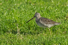 Long-billed Dowitcher (katholdbird) Tags: red