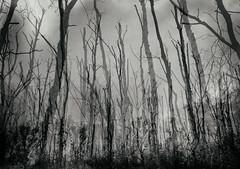 Trees (hansekiki ) Tags: dars sundischewiesen ostsee balticsea mehrfachbelichtung multipleexposure canon 5dmarkiii baum bume trees
