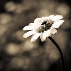 k (rich lewis) Tags: mono monochrome macro daisy fly richlewis