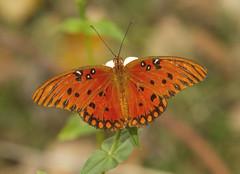 Gulf Fritillary (Agraulis vanillae) (AllHarts) Tags: gulffritillaryagraulisvanillae backyardbutterflies memphistn naturescarousel ngc npc naturesspirit thesunshinegroup ourwonderfulandfragileworld butterflygallery