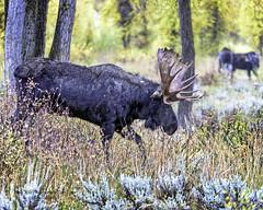 Bull Moose Keeping An Eye On Two Younger Bull Moose (Hawg Wild Photography) Tags: bullmoose jacksonholewyoming grandtetonnationalpark wildlife nature animal animals terrygreen nikon nikon200400vr d810 hawg wild photography