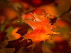 Jagged (~DGH~) Tags: 2016 alberta canada edmonton october pentaxk50 autumn fall leaves macro pending smcpentaxdfamacro100mmf28wr ~dgh~