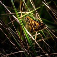 Deep in the Weeds (Portraying Life) Tags: michigan unitedstates skipper butterfly handheld closecrop meadow
