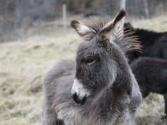 Portrt (- Lythy -) Tags: portrt donkey tier esel