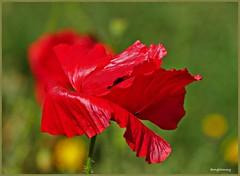 Crimson Poppy (tanglemay) Tags: crimson poppy