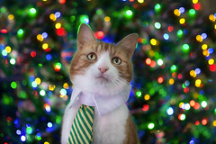 Helping with the tree (cuppyuppycake) Tags: christmas cat light tree tie pet animal ginger nikon d7200 indoor