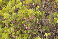 Greenleaf manzanita in flower (Tony Frates) Tags: manzanita greenleafmanzanita arctostaphylospatula brycecanyonnationalpark inspirationpoint garfieldcounty utah