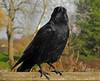3287 Rabe, raven. (Fotomouse) Tags: fotomouse margrit flickr rabe rave natur nature vogel bird schwarz black outdoor draussen tier tiere animals animal