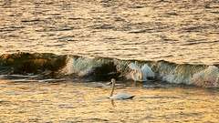 Laine (Tarmo Gede) Tags: laine wave luik luiged swan khmnokkluik mute muteswan cygnusolor