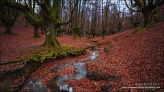Hayedo de Otzarreta, Zeanuri (Bizkaia) (Anna & Oskar) Tags: esp espaa paisvasco undurraga urrekotxi zeanuri bizkaia vizcaya hayedo paisaje landscape canon 5dmarkii 5d otoo autumn