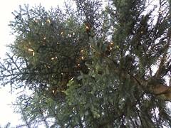 Oh Tannenbaum 1 (thomaslion1208) Tags: weihnachten crismas nol baum weihnachtsbaum