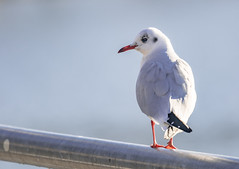 Black-Headed Gull  |  Lachmöwe (Natural Photography by CJH) Tags: bird vogel natural wildlife nature wild nikon d500 telephoto 300mm pf f4 300mmf4 300f4 nikkor pfedvr tc14eiii luxembourg river water lachmöwe gull seagull black headed blackheaded blackheadedgull