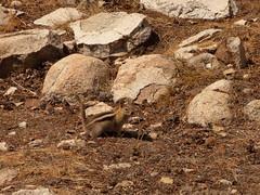 P1240522.jpg (NKSwampie) Tags: 2016 20thseptember california goldenmantledgroundsquirrel september yosemite wisebirding