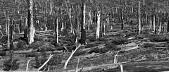 Dead Forest © Mark Aizenberg