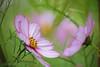 twin (mizuk@) Tags: japan nara flower cosmos autumn colorful canon 奈良 安倍文殊院 花 コスモス 秋桜