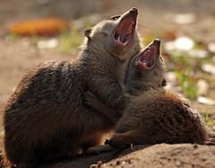 Meerkat Ouwehands JN6A7051 (j.a.kok) Tags: ouwehands ouwehandsdierenpark ouwehandszoo meerkat stokstaartje suricatasuricata mammal zoogdier roofdier predator