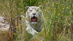 Tigre blanc/ White tiger (Trevi971) Tags: tigreblanc whitetiger