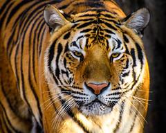 Big Kitty (Neil_Wagner) Tags: amurtiger siberiantiger
