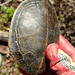 Southern Painted Turtle, Shell