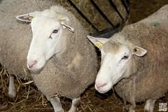 20073 & 20188 (Alex..H) Tags: sheep mouton animal ferme laine brebis bergerie bergerienationale rambouillet yvelines 78 france