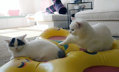 Its my space..  (Goboogi.Munchkin) Tags: goboogi chobee munchkin cat kitty kitten cute fluffy