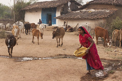Gond village (wietsej) Tags: gond village tribal rural kawardha chhattisgarh india sal70400g sony alpha dslr a900 sal70200g cows