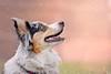 Pastore australiano (Sonia Valdes) Tags: cane sogno sognante pastore australiano