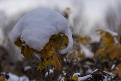 22 November 2016 (runningman1958) Tags: 365dayproject 365 nikon nikond7200 d7200 nature snow winterscene