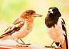 Pied butcherbird (4 of 4) (Daniela Parra F.) Tags: aves birds butcherbird piedbutcherbird queensland australia southeastqueensland birdsofaustralia australianwildlife australianbirds wildlife aussiebirds rainforest springbrooknationalpark springbrook wild subtropical mountainrainforest