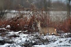f_L5H_9640 (lechgawu) Tags: roedeer nature wildlife