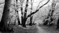 Leaves and Bark (NED_KELLY_GUY) Tags: path dream angelic blackandwhite tunnel bark autumnal highkey trees pathway landscape infrared nature forest beech heavenly airy autumn fresh woodland leaves guide caminhos