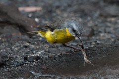 Eastern Yellow Robin 4 (RoosterMan64) Tags: australia australiannativebird bird easternyellowrobin nsw nature wildlife