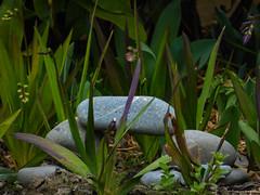 Hobbit Henge (Steve Taylor (Photography)) Tags: stone stonehenge balanced art sculpture green purple grey rock newzealand nz southisland canterbury christchurch northnewbrighton plant iris foliage leaves