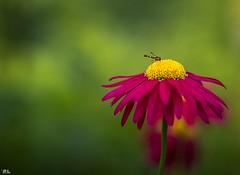 Pterygota (roland_lehnhardt) Tags: ef85mmf18usm canon eos60d tiere animals pflanzen flowers bokeh tiefenschärfe unschärfe schärfentiefe close up nahaufnahme macro makroaufnahme dof pov portrait tierportrait grün green violet gelb yellow blüte blossom