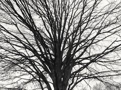 El árbol de las mil ramas (Ene Uriarte) Tags: árbol tree blancoynegro blackwhite lumix fz48 panasonic ramas