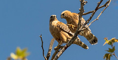 Ready or Clawed--EXPLORE (catchlightdon) Tags: ca bonding slocounty redshoulderedhawk buteolineatus intimacy courtship donhenderson talondisplay perching pair raptor