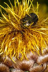 Gold on Yellow Pillow (Cropped)  _TNY_9495C (Calle Söderberg) Tags: macro canon canon5dmkii canonef100mmf28usmmacro canoneos5dmarkii raynox dcr250 flash insect yellowhardhead cetoniinae cetonia aurata metallic green knapweed giantknapweed scarabaeoidea olivgrönguldbagge guldbagge chafer rosechafer greenrosechafer centaurea macrocephala gulklint asteraceae globecornflower beetle