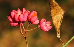 Spindle - Euonymus europaeue 011216 (3) (Richard Collier - Wildlife and Travel Photography) Tags: naturalhistory flora flowers flowersenglishflowers wildflowers flowerheads macro naturethroughthelens