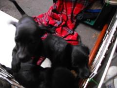 DSCF0920 (Primespot Photography) Tags: dog canada dogs puppy puppies bc britishcolumbia dachshund puppys doxie dashchund fraservalley lowermainland weinerdog chihuahau chiweenie dashie