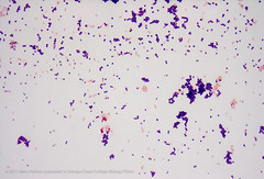 Gram stain demonstration slide, 1,000x 2 (Marc Perkins - OCC Biology Department) Tags: pink purple cell slide stained preserved microscope bacteria microbiology occ coccus prokaryote gramnegative grampositive marcperkins