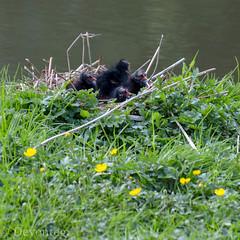 moorchicks have hatched! (devonteg) Tags: grass sticks pond nikon nest may chicks 2012 buttercups moorhen gallinulachloropus floatingisland 70300mm4556vr d7000 moorchicks