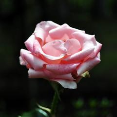 Pink Rose Close-up (e.nhan) Tags: pink flower nature rose closeup enhan