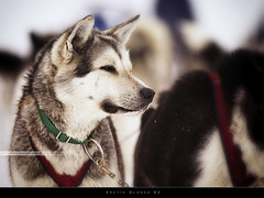Arctic Glance #2 (bgspix) Tags: travel ice dogs animals norway canon huskies svalbard arctic polar dogsledding northpole spitzbergen spitzberg greendogs canoneos60d longyearbien canonef70200f28lisii bgspix