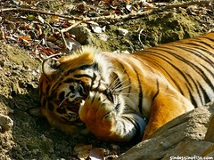 "Tigre = gato • <a style=""font-size:0.8em;"" href=""http://www.flickr.com/photos/92957341@N07/8750488784/"" target=""_blank"">View on Flickr</a>"