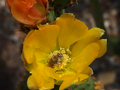 Busy bee in prickly pear (Anika Malone) Tags: flowers plants losangeles mtwashington southwestmuseum