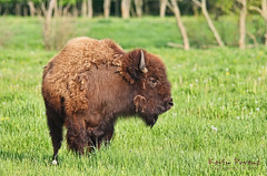 Local Buffalo (Kevin Povenz) Tags: buffalo kevin michigan may grazing 2013 hudsonville povenz