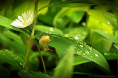 This is bravery ! (Jeff BOVE) Tags: flower green water fleur leaves leaf spring eau snail drop vert intrepid escargot printemps goutte feuille audacious