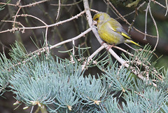 Common Greenfinch (Ingeborg van Leeuwen) Tags: birds sweden greenfinch carduelischloris carduelis chloris passerines svartdalen